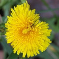 Dandelion Myths and Uses