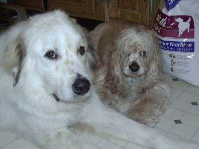 Waco the Wonder Dog, Great Pyrenees, and Riley Bonding