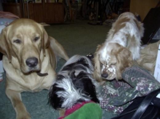 Riley-Teddy-Beau-dogs-meeting-2001-copyright-Vikk-Simmons