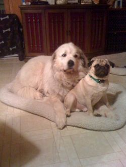 Waco the Great Pyrenees and Charlie the Pug on the mat--2010 copyright Vikk Simmons