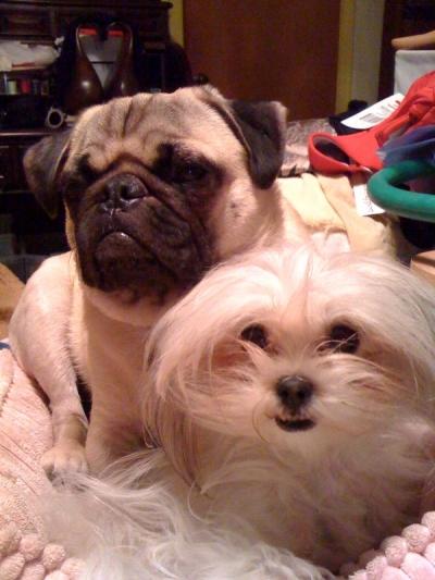HoneyBunn and Charlie the Pug