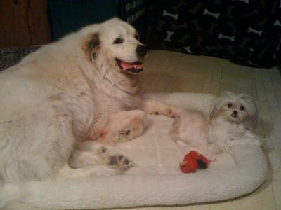 HoneyBunn and Waco the Wonder Dog, the Great Pyrenees