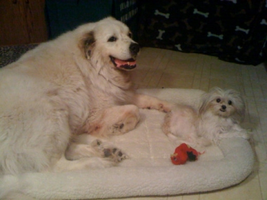 HoneyBunn and Waco the Wonder Dog, the Great Pyrenees
