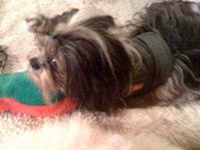 Teddy, the Shih Tsu, loves his plush slipper dog toy.