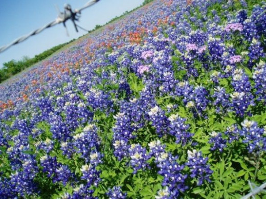 Texans love the Texas Bluebonnet Trail.