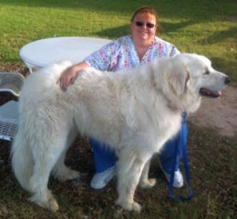 Great Pyrenees Samwise Samchild with foster mom