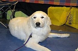 Phoebe - Sweet, well-mannered one year old Great Pyrenees. Loves kids.