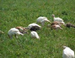 pastured turkey