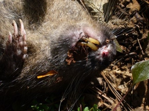 Mountain Beaver Teeth