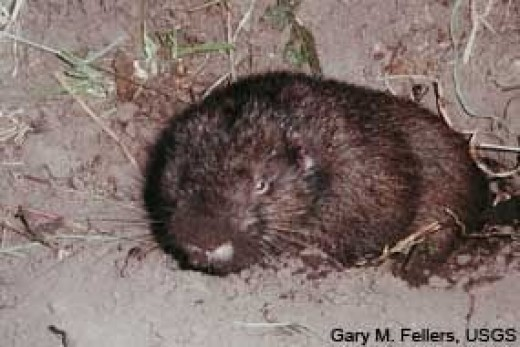 Immature Mountain Beaver