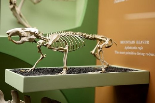 Mountain Beaver Skeleton