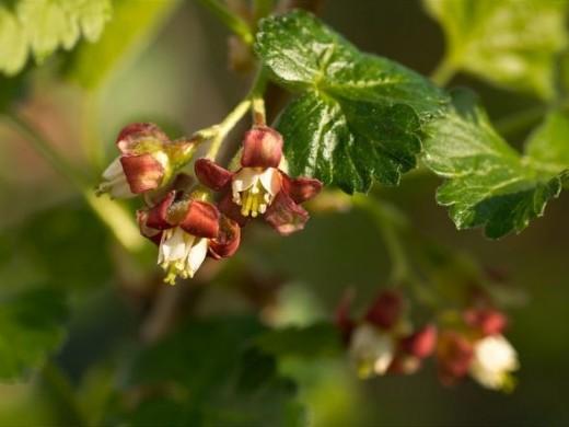 Jostaberry-flower