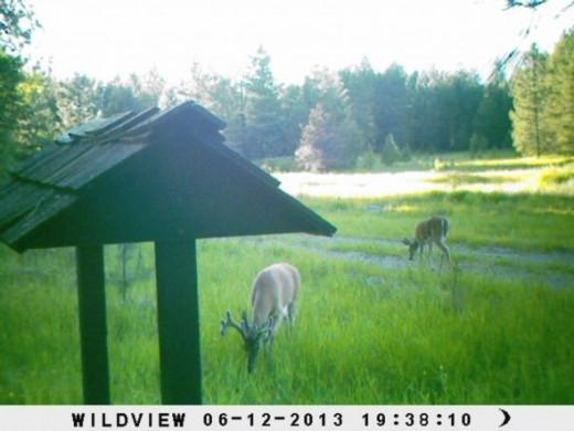 Bucks-on-trail-cam