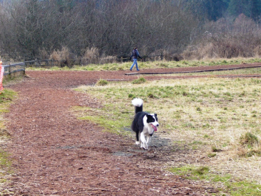 Border Collie on the trail at Marymoor Dog Park