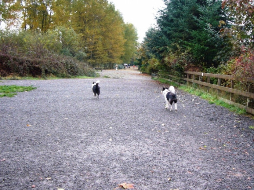 Border Collies on the trail at Marymoor Dog Park