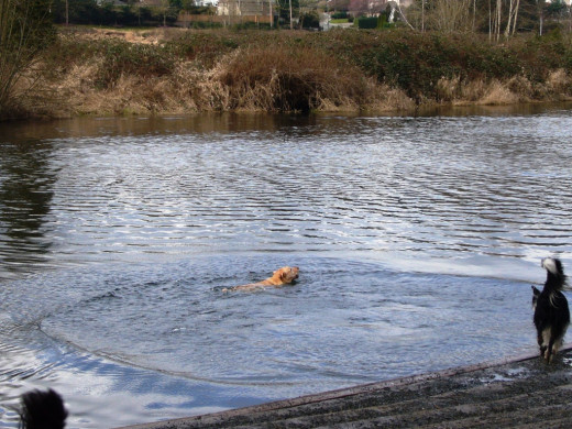 Dog Swimming in the Sammamish River at Marymoor Park