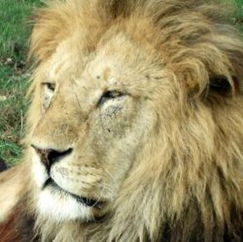 confident Lion