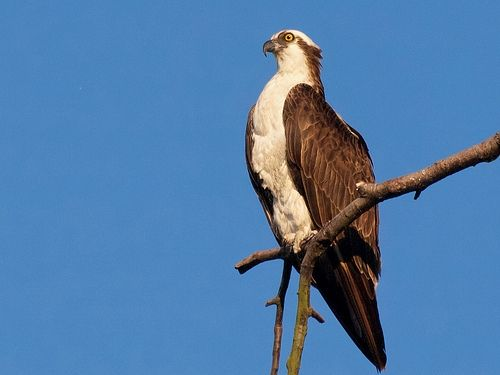 Osprey at Ballard Locks