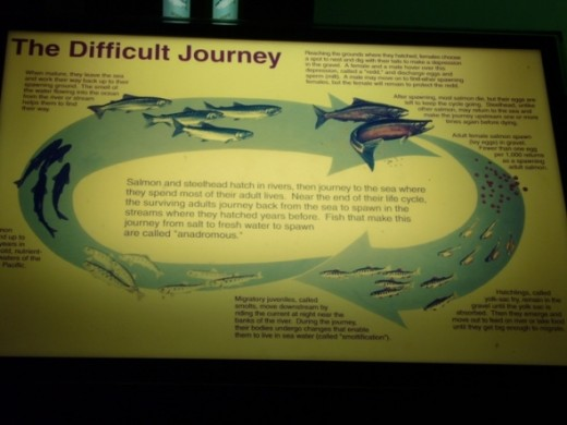 Sign explaining the life cycle of the Pacific Salmon