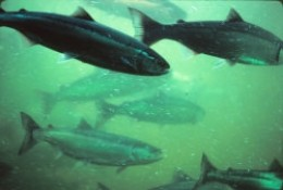 Fish viewed from the underwater viewing area of the fish ladder