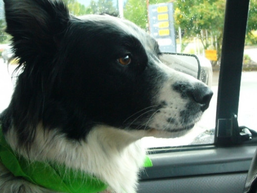Skye loves to go for rides in the car.  She would prefer to be in the driver's seat.