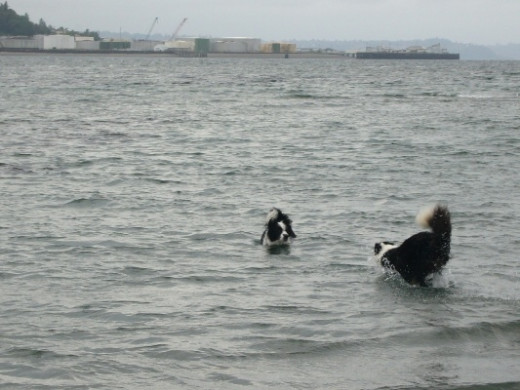 More fun in the water. This Skye and Tim at a local off leash dog park located on a beach.