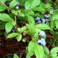 Growing Your Own Blueberries