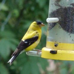 Male American goldfinch at thistle feeder