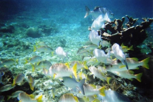 Reef Fish at Hol Chan Preserve Belize
