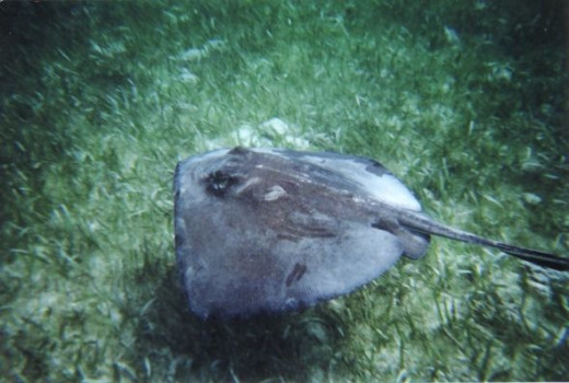 Shark Ray Alley, Belize