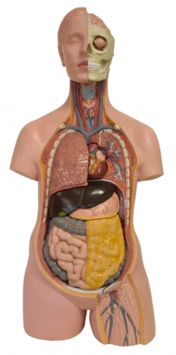 Model of human torso showing different systems
