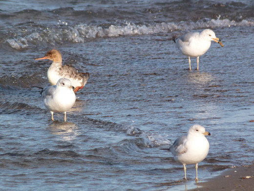 Ring-billed gulls and female Red-Breasted Merganser