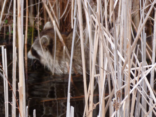 Raccoon looking for food in the marsh