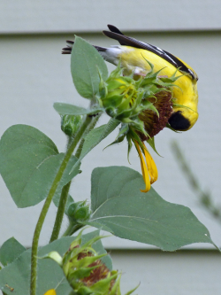 American Goldfinch on giant sunflower