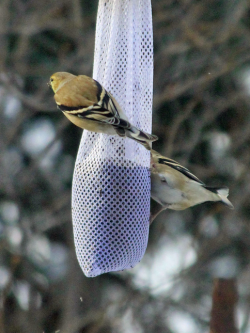 Winter coloration for American Goldfinches