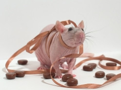 How to Care for a Hairless Pet Rat
