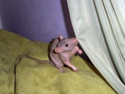 hairless_rat-by_ShandiGP