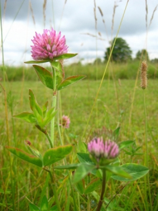 Red Clover is helpful for women's health.
