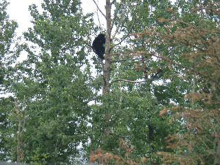 I saw this bear climbing a tree at a stop on the bus tour.