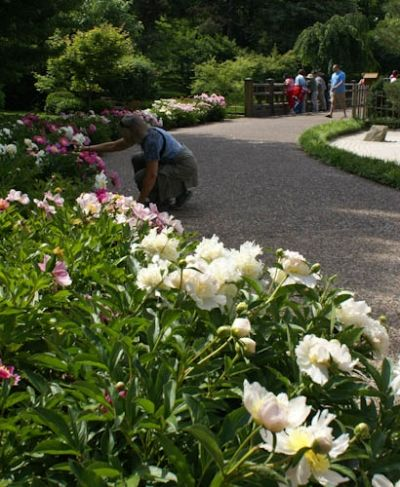 Peonies along the Path.  Take your  Mother to your local garden to see peonies in bloom.