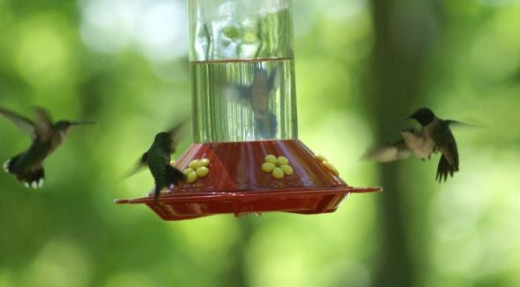 I found that by using the sports setting on my camera I could capture the hummingbirds in mid air.