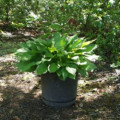 Hosta Plant:  Stages of Growth Photos, From Sprouting to Blooming