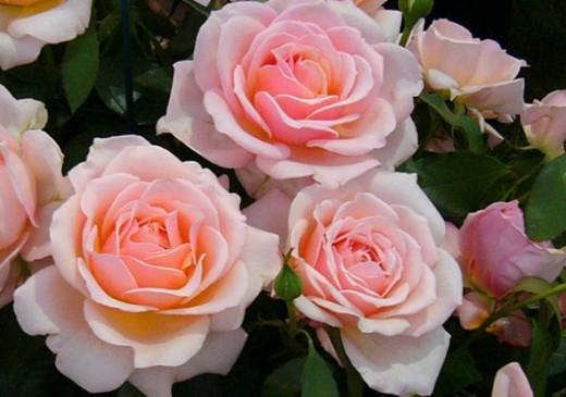Rosa 'Caron Keating'