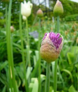 Alliums_Tulips