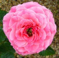 Rose Tickled Pink