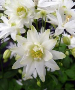 Aquilegia Clementine White