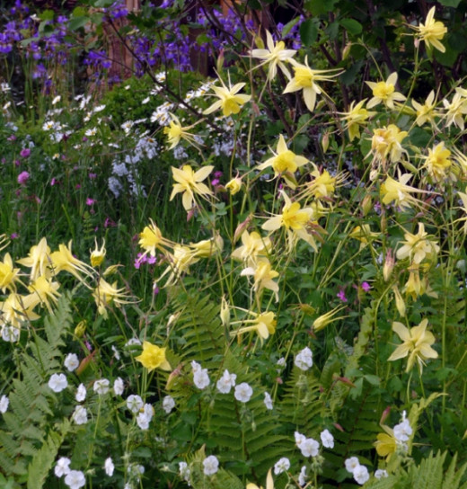 Yellow Aquilegia Meadow