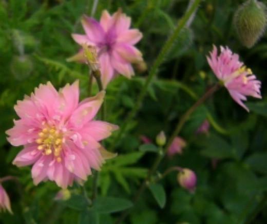 Aquilegia Pink Barlow