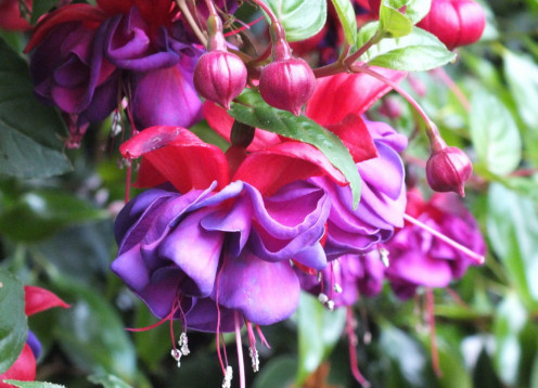 More pretty flowers. These are fuchsias in my yard.