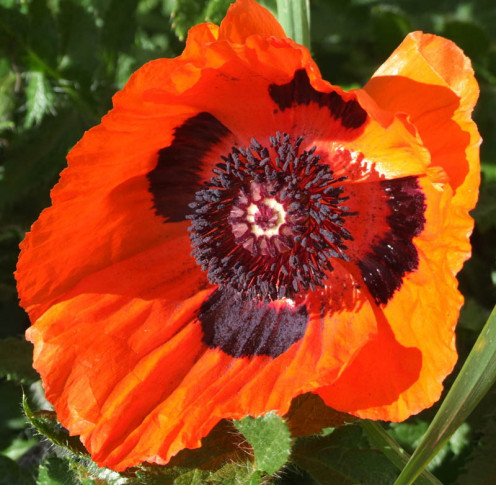 A red poppy, outside my house...